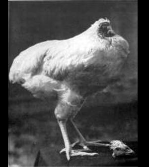 Divulgação / miketheheadlesschicken.org